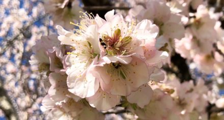 Almond blossom season on Mallorca