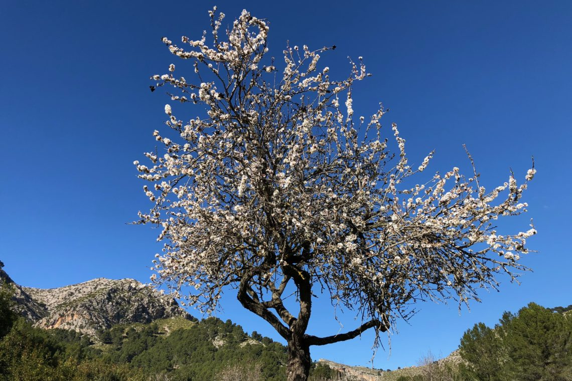 Almond blossom season on Mallorca
