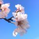 Coming soon: Almond blossom season